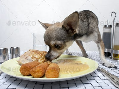 Chihuahua eating food from plate on dinner table