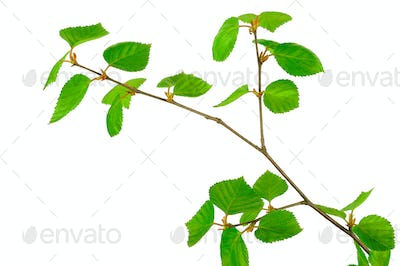 Young birch branches