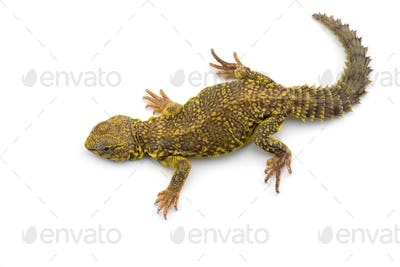 Spiny-tailed Lizard isolated on white background