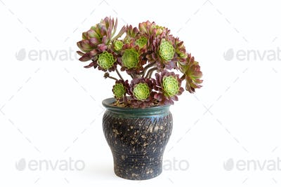 potted succulent plant isolated on white
