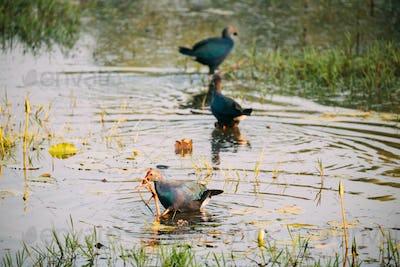 Goa, India. Three Grey-headed Swamphen Birds In Morning Looking For Food In Swamp. Porphyrio