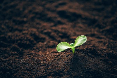 Green plant growing in good soil. Banner with copy space. Agriculture, organic gardening, planting