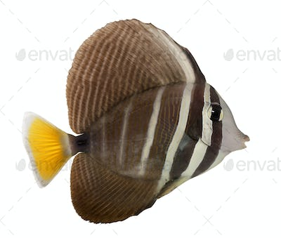 Sailfin Tang, Zebrasoma veliferum, in front of white background