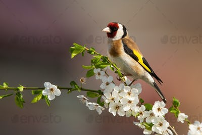 European goldfinch sitting on twig of tree with blossoming flowers in spring