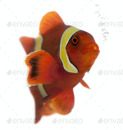 Maroon clownfish, Premnas biaculeatus, in front of white background