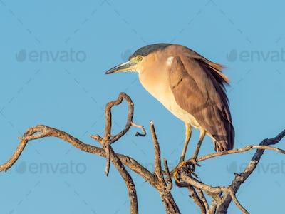 A Nankeen Night Heron on a Tree