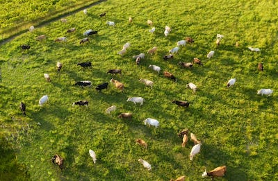 Cows herd on the field. View from drone