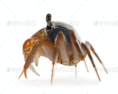 Side view of Patriot crab, Cardisoma armatum, in front of white background