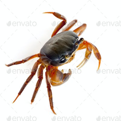 Patriot crab, Cardisoma armatum, in front of white background