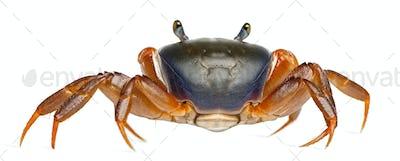 Patriot crab, Cardisoma armatum, in front of white background