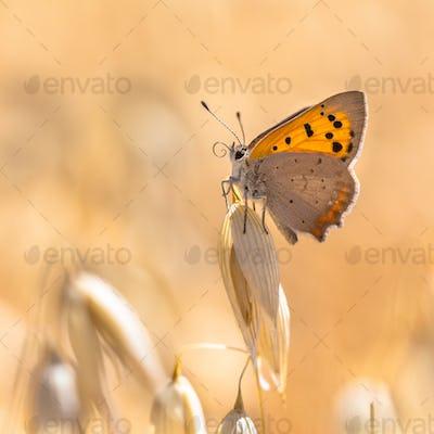 Small copper cereal field