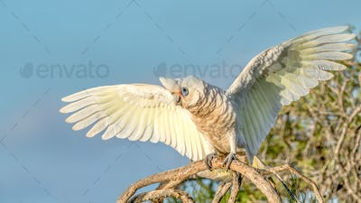 Little Corella With Wings Outstretched
