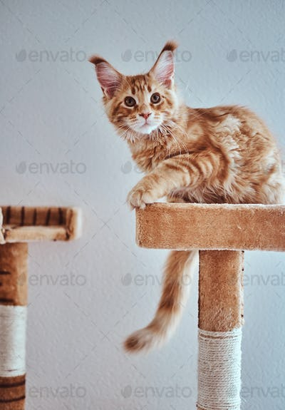 Adorable ginger maine coon kitten is relaxing on special cat's equipment