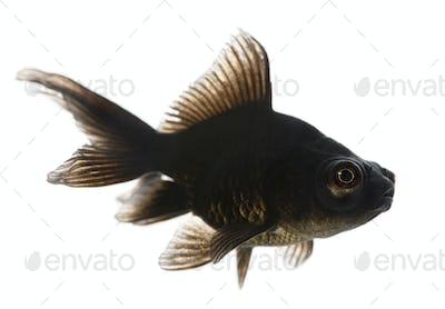 Black moor, Carassius auratus, in front of white background