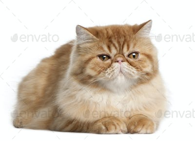 Persian cat, 5 months old, lying in front of white background