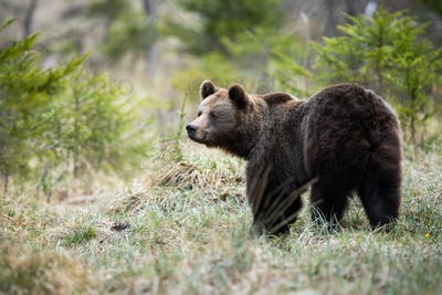 Large brown bear looking aside on a glade in forest in spring nature