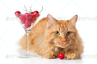 Maine Coon cat on white background.