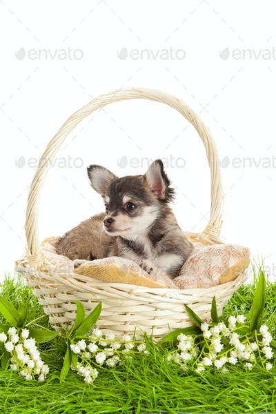 Chihuahua puppies. lovely puppy s.  portrait of puppies in a basket in front of white background