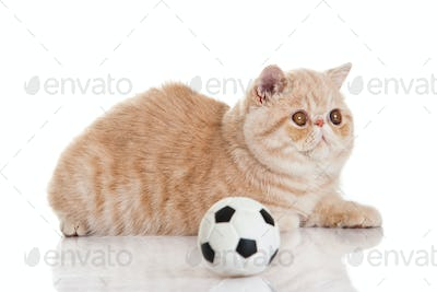 Exotic shorthair cat. Cute tabby kitten playing on white background