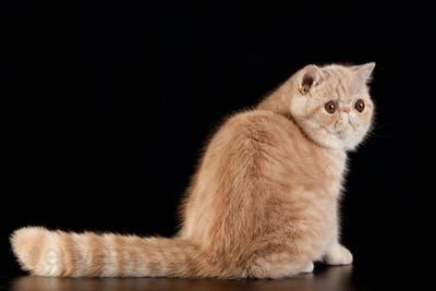 Exotic shorthair cat.  Exotic domestic cat on black background.