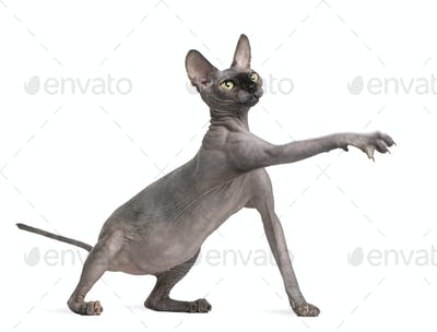 Sphynx cat reaching, 9 months old, in front of white background