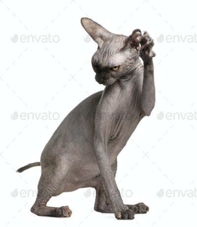 Sphynx cat with paw up, 9 months old, in front of white background