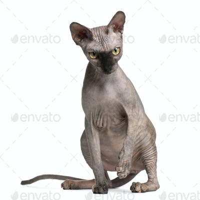 Sphynx cat, 9 months old, sitting in front of white background