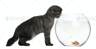Scottish Fold Kitten, 3 months old, looking in goldfish bowl in front of white background