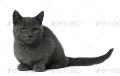 Chartreux Kitten sitting in front of white background