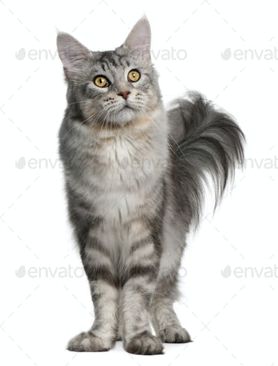 Maine Coon, 13 months old, standing in front of white background