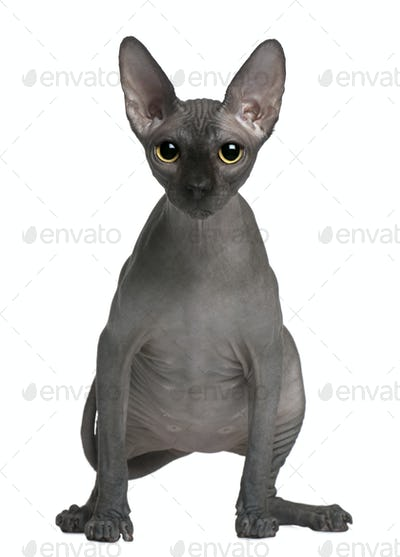 Sphynx cat, 14 months old, standing in front of white background