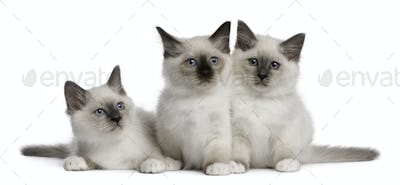 Birman Kittens, 2 months old, in front of white background