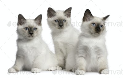Birman Kittens, 2 months old, sitting in front of white background