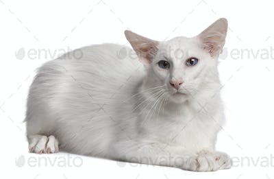 Siamese cat, 2 years old, lying in front of white background