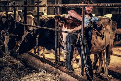 Vet male wearing farmer uniform working with a cow in a farm indoors