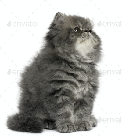 Persian kitten, 2 months old, sitting and looking up in front of white background