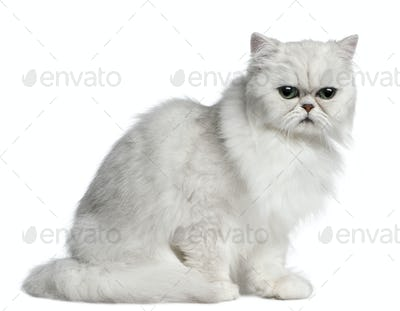 Persian cat, 2 years old, sitting in front of white background