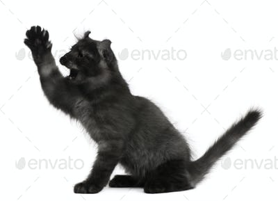 American Curl Kitten, 3 months old, with paw up in front of white background