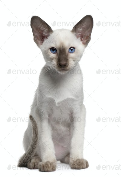Siamese kitten, 10 weeks old, sitting in front of white background