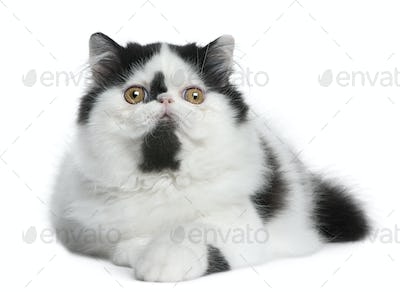 Black and white Persian cat lying in front of white background