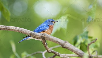 Bluebird male sitting on a branch