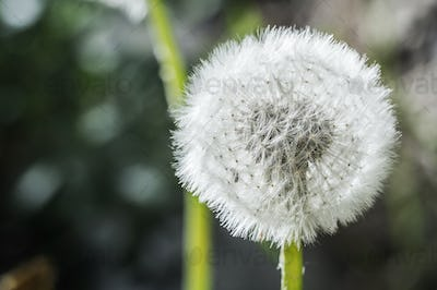 Dandelion Flower Head Macro Close Up