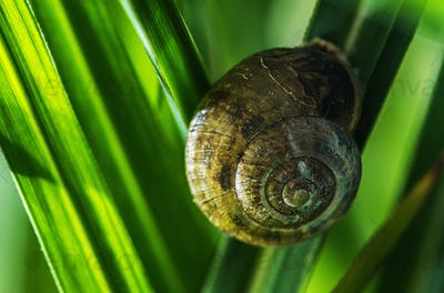 Garden Snail on One of the Blade of Grass Macro Close Up.