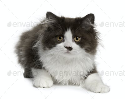 British Longhair kitten, 3 months old, lying in front of white background