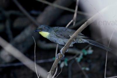 Yellow-throated greenbul (Arizelocichla chlorigula)