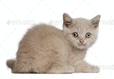 British Shorthair Kitten, 10 weeks old, sitting in front of white background