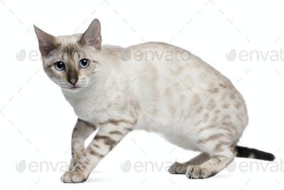 Bengal Cat, 6 months old, standing in front of white background