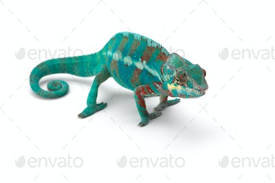 Blue lizard Panther chameleon isolated on white background