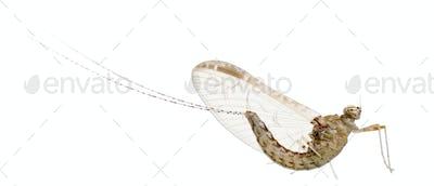 Mayfly, ephemeroptera, in front of white background