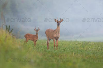 White-tailed deer stag and roe deer buck standing on hay field in summer morning